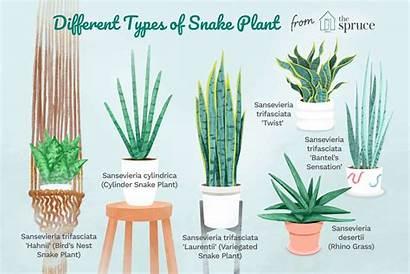 Snake Plant Plants Sansevieria Care Mother Trifasciata