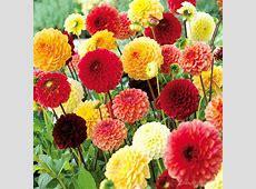 Dahlia Tubers RedYellowOrange Pompon Mix All Flower