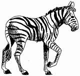 Zebra Coloring Animals Pages Printable Kb Animal sketch template