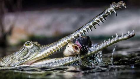 indian gharial  gavial   fish eating crocodile native