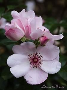 Sweet Pretty Rose : rose sweet pretty sch nheit f r einen tag mein blumenbild des tages ~ A.2002-acura-tl-radio.info Haus und Dekorationen