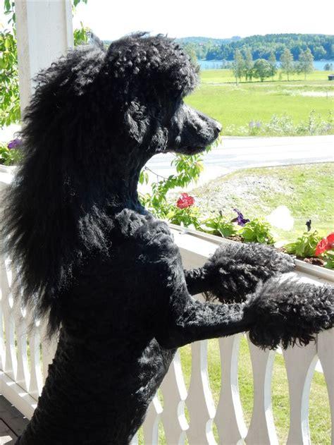 poodle love images  pinterest standard