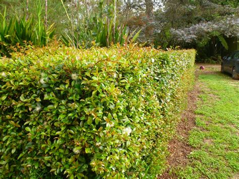 hedge bushes types all about hedges gardening with angus