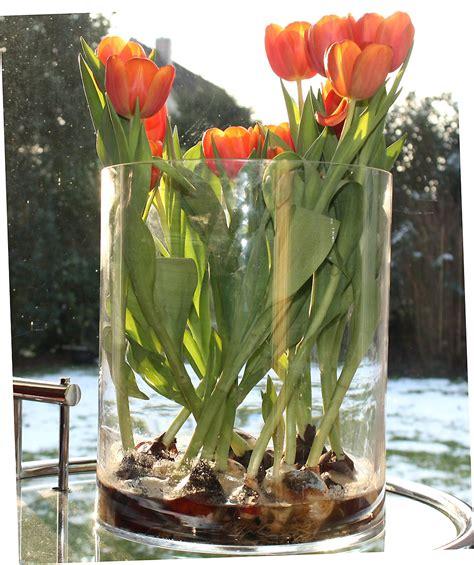 Tulpen Im Glas Ohne Erde