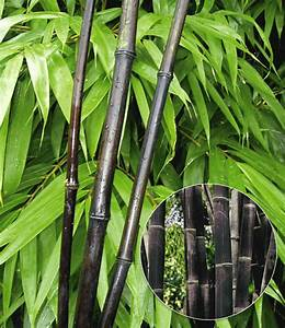Bambus Vernichten Tipps : schwarzer bambus black bamboo 1a qualit t kaufen baldur garten ~ Whattoseeinmadrid.com Haus und Dekorationen