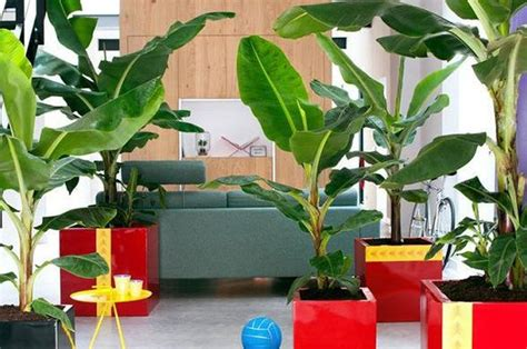 tanaman hias tak melulu bunga pohon pisang bisa bikin