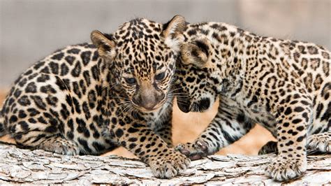 Jaguar Cubs Luna, Estrella Make Debut At Fort Worth Zoo
