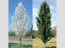 Pyrus calleryana 'Capital' a very upright form of