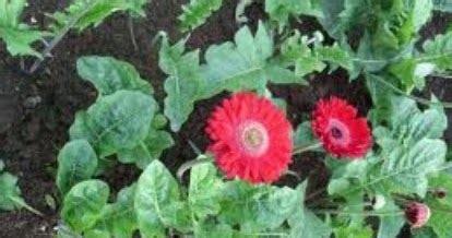 budidaya bunga gerbera hebras tanaman hias