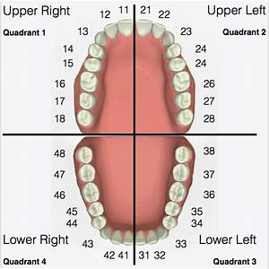 35 Dental Diagram Tooth Numbers