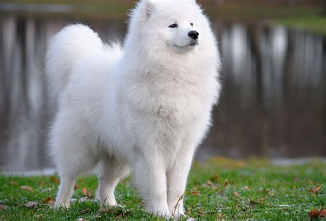 Samoyed Puppies Wallpapers Free
