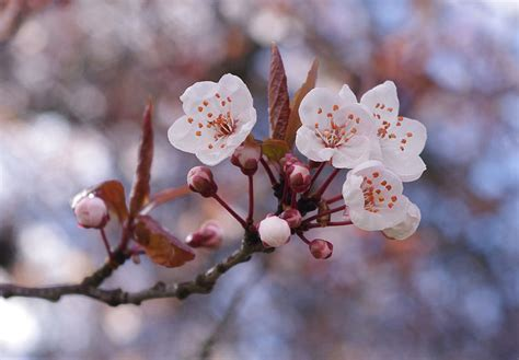 cherry blossom tree l cherry blossom tips gardening pictures care meaning