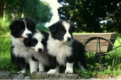 Collie Border Wallpapers Puppies
