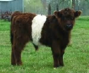 Miniature Cattle