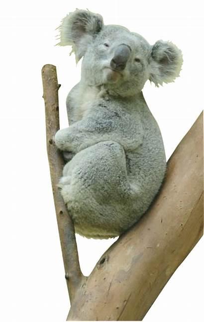 Koala Bear Transparent Animal Realistic Background Animals