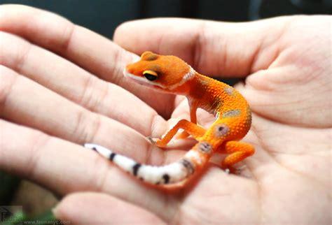 leopard gecko colors leopard gecko eublepharis macularius