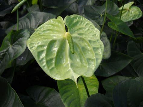 Green Anthurium aka Midori Anthurium Plants