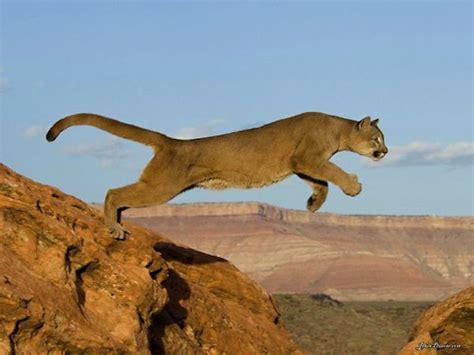 singa gunung  informasi fakta menarik tentang puma