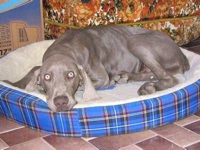 Do Weimaraner Dogs Shed A Lot by Weimaraner Vorstehhund Grey Ghost Gray Ghost Weim Weimer