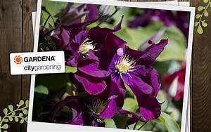 Kletterpflanzen Für Balkon : kletterpflanzen f r den balkon ~ Buech-reservation.com Haus und Dekorationen