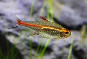 Neon Diamond Head Tetra