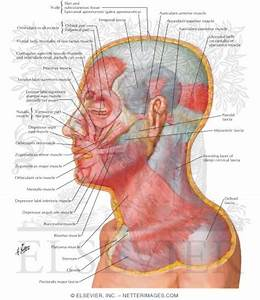 Muscles Of Facial Expression  Lateral View