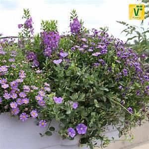 Hängepflanzen Für Balkonkästen : ein bl tenmeer in blau blaue mauritius 39 manati deep ~ Michelbontemps.com Haus und Dekorationen