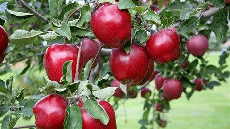 Red Delicious Apples Wallpaper  Wwwimgkidcom The