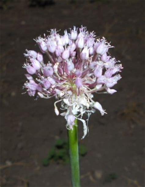 true garlic seed