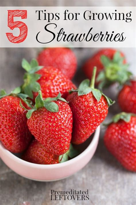 ideas for strawberries 5 tips for growing strawberries