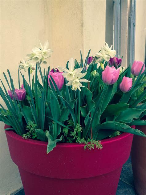 bulbi tulipani in vaso come coltivare i bulbi in vaso per la primavera e l estate