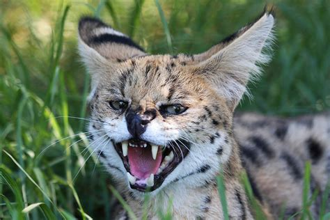 serval cat wild animals angry dangerous scotland kept being living hunting most african africa nearly premium sussex across private homes