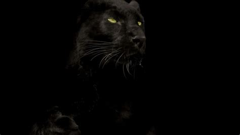 Isuzu Panther Backgrounds by Black Panther Animal Wallpapers Wallpaper Cave