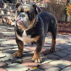 Olde English Bulldog- this is what rocky should look like ...