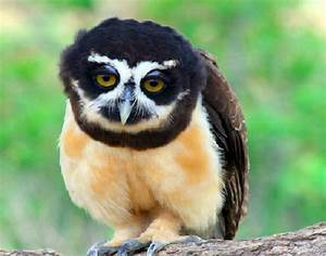 Spectacled Owl | All Creatures Great & Small | Pinterest