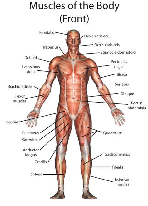 Diagram Of Part Of Human by My Pages Human Anatomy Anatom 237 A Humana