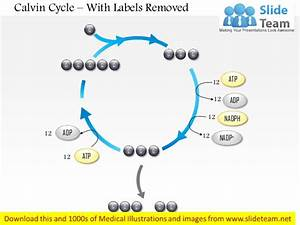 Calvin Cycle Medical Images For Power Point
