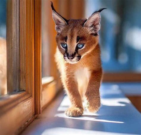 fuer eine katzenrasse ist diese katze tiere rasse