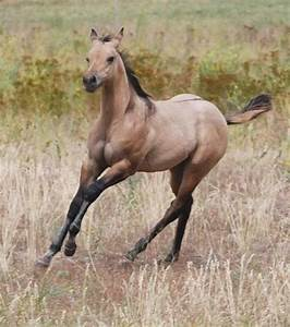 Dun Quarter horse | Duns and grullas | Pinterest
