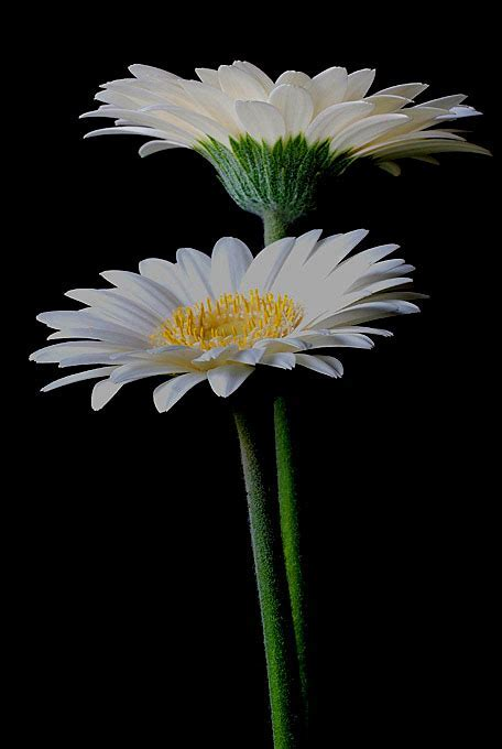 Gerbera Flower   Mike Moats