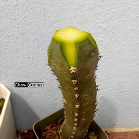 Chow Cactus: การกราฟแคคตัสแบบผ่าครึ่งหัว ( แคคตัสหนึ่งหน่อ ...
