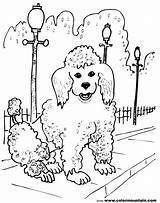 Poodle French Coloring Pages Drawing Sheet Line Pretty Dog Dogs Getdrawings Drawings Colormountain Paintingvalley Called sketch template