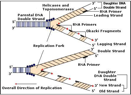 the leading strand template forms a priming loop dna replication biology tutorvista