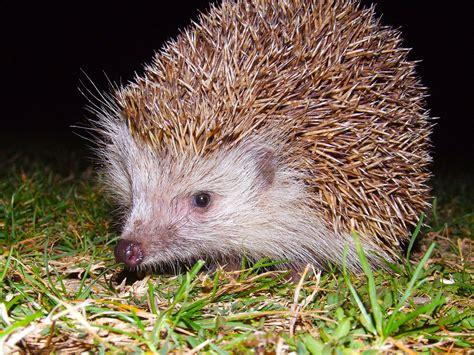 Ganz Schöne Bilder by Igel Hintergrundbilder Kostenlos Tiere