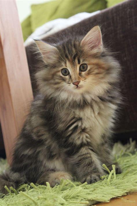 preis einer rassekatze norwegische waldkatzen von