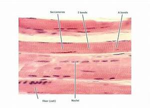 Muscle Tissue At Galen College Of Nursing