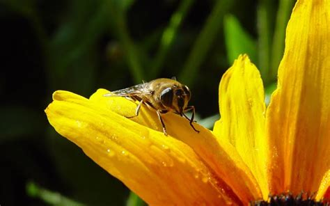 honey bee wallpaper wallpapersafari