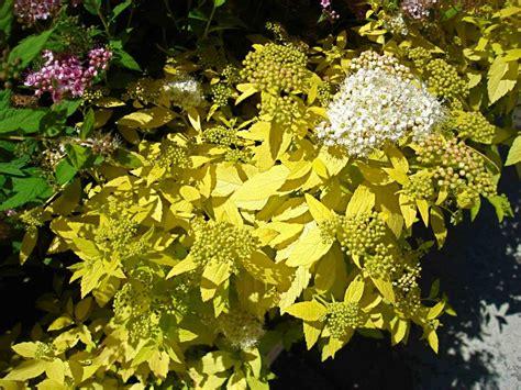 gold leaf spirea yellow leaves white flowers of white gold spiraea