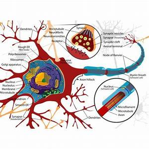 Brain Lobes And Functions Quiz