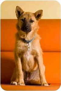 Foxy   Adopted Dog   Portland, OR   Finnish Spitz/German ...